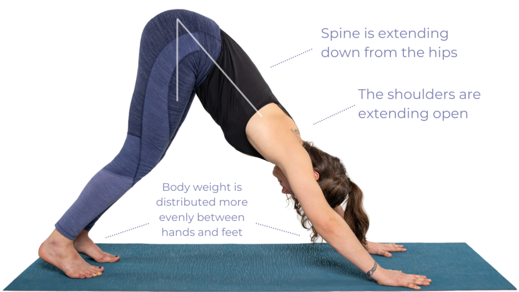 Downward facing Dog Pose with improved weight distribution and good shoulder and spine alignment